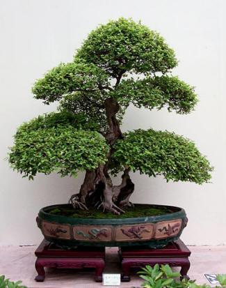 Bonsai el arte de cultivar arboles for Como cultivar bonsais